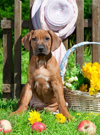 rhodesian: Two month old Rhodesian Ridgeback puppy sitting on the grass in the garden