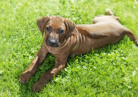 pure breed: Two month old pure breed Rhodesian Ridgeback puppy lying on the grass Stock Photo
