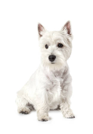 highland: West Highland White Terrier dog isolated on white background in studio Stock Photo
