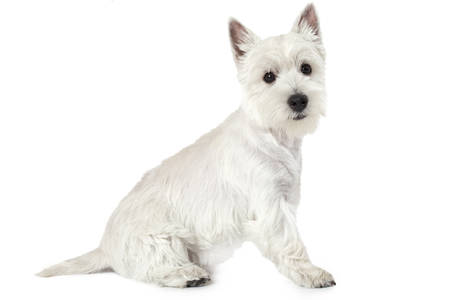 highland: West Highland White Terrier puppy, four months old, sitting against white background