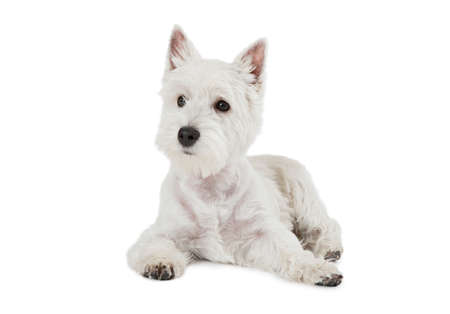 highland: West Highland White Terrier puppy, four months old, lying against white background