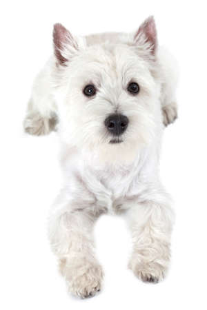 highland: West Highland White Terrier puppy lying on white background