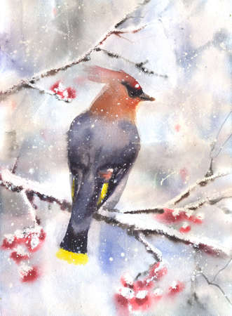 ashberry: Water color drawing of a waxwing sitting on a branch in winter. Wet-in-Wet watercolor technique
