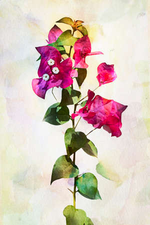 crimson colour: Illustration of watercolor Bougainvillea flowers. Artistic watercolor painting style with texture Stock Photo
