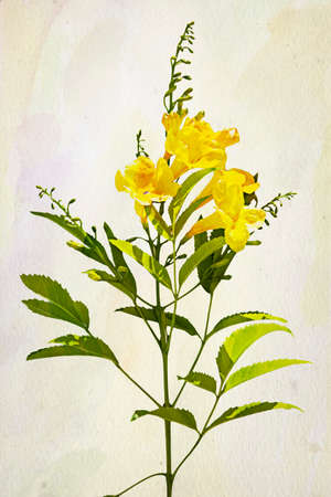 trumpet: Illustration of yellow Campsis radicans trumpet vine or trumpet creeper flowers. Artistic watercolor painting style with texture