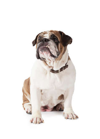 stocky: English Bulldog sitting and looking to the side isolated on white background