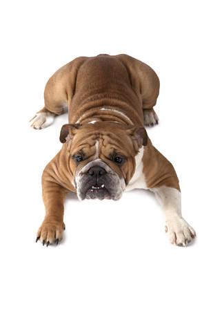 stocky: English Bulldog lying on his tummy isolated on white background Stock Photo