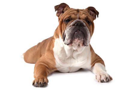 grooming: English Bulldog lying on white background and looking at the camera