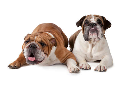 dog grooming: Two English Bulldog lying on white background and looking to something