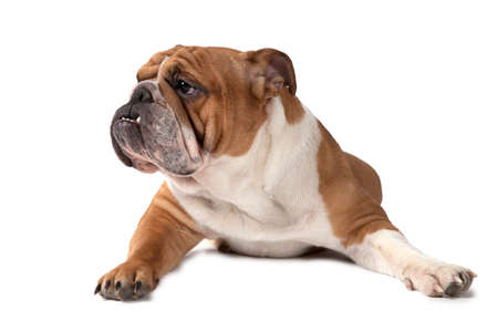 dog grooming: English Bulldog lying on white background and looking to the side  Stock Photo