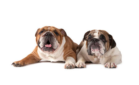dog grooming: Two English Bulldog lying on white background and looking forward Stock Photo