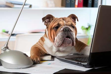 オフィス マネージャーとしてコンピューターの前に机に座って英語ブルドッグ