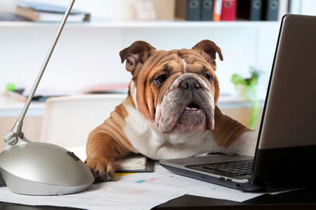 English Bulldog sitting at a desk in front of a computer as an office manager