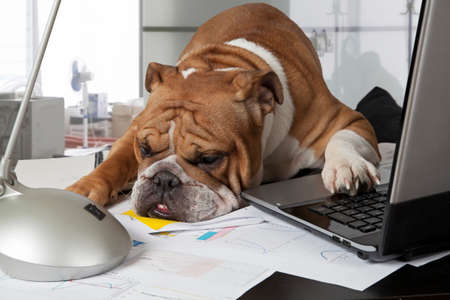 Bulldog Inglés agotadora por día de trabajo apoyó la cabeza sobre la mesa para descansar Foto de archivo