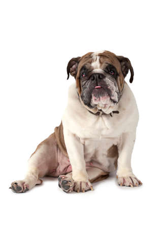 sitting on: English Bulldog sitting against a white background and looking at the camera