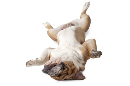 stocky: English Bulldog lying upside down on his back isolated on white background Stock Photo