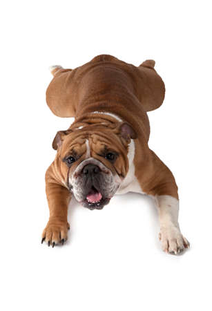 lying on his tummy: English Bulldog lying on his tummy and looking at the camera