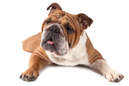 dog grooming: Purebred English Bulldog lying on white background and looking forward