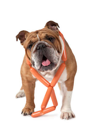 big dog: English Bulldog standing against a white background with a bunch of sausages around her neck Stock Photo