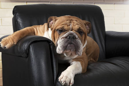 English Bulldog sitting in a relaxed way in a black leather chair in the living room and looking forward