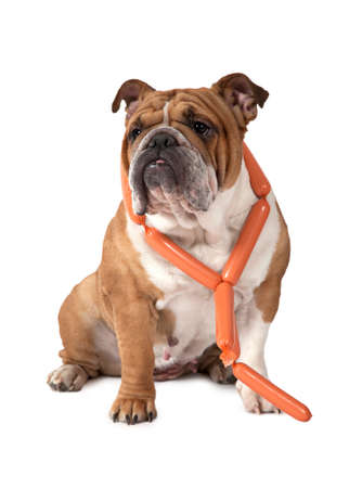 dog grooming: English Bulldog sitting against a white background with a bunch of sausages around her neck and looking to the side Stock Photo