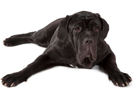 italian mastiff: Purebred Mastiff neopolitano dog, seven months old, isolated on a white background