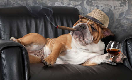 'english: Humorous photograph of English Bulldog resting in a black leather chair with a cigar and glass of cognac