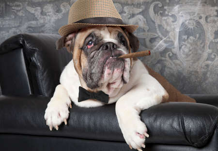 Portrait of English Bulldog resting in a black leather chair with a cigar Stock Photo