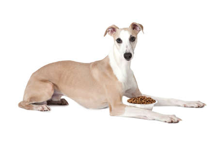 kibble: Eight months old Whippet dog with a bowl of kibble dog food against a white background