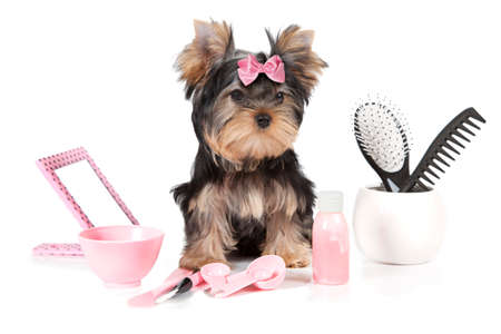 Yorkshire terrier with grooming products isolated on white background