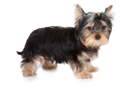 three months old: Three months old purebred Yorkshire terrier isolated on white background