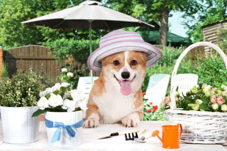 perros graciosos: Divertido Corgi Galés Pembroke perro sentado con un sombrero en el campo en el tiempo de verano