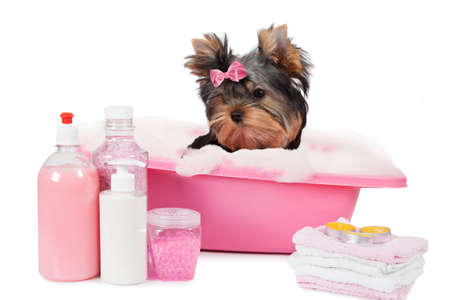 black dog: Yorkshire terrier dog bathing in a bubble bath isolated on white background