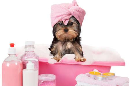 Divertida Yorkshire terrier perro de tomar un baño aislado en el fondo blanco