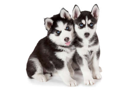 two months: Portrait of two months old Siberian Husky puppies isolated on white background Stock Photo