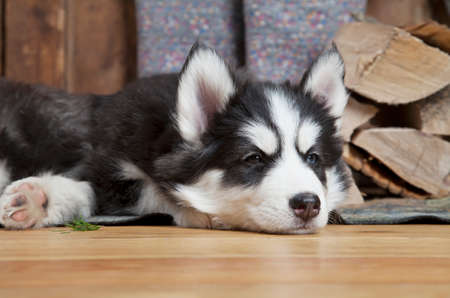 two months: Two months old Siberian Husky puppy lying on the floor