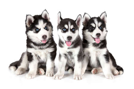 two months: Three Siberian Husky puppies (two months old) isolated on white background