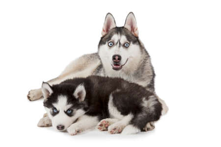 two months: Purebred Siberian Husky dog with two months old puppy isolated on white background Stock Photo