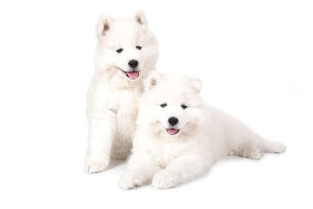 purebreed: Seven months old two Samoyed puppies dog isolated on white background