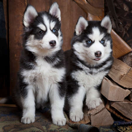 two months: Two months old Siberian Husky puppies indoors