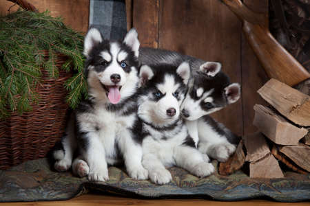two months: Adorable Siberian Husky puppies (two months old) indoors