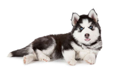 two months: Two months old Siberian Husky puppy dog isolated on white background