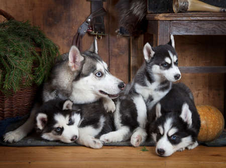 two months: Two months old Husky puppies with their mother lying on the floor indoors Stock Photo