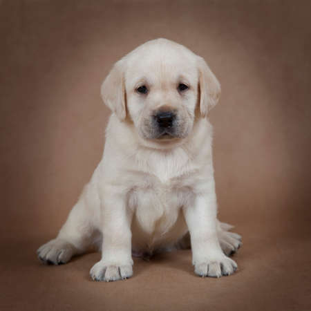 Cute little Labrador puppy sitting in front of beige background