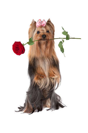 sitting up: Studio shot of a Yorkshire terrier dog sitting up in front of white background with a red rose in his mouth. Ready for postcard greetings