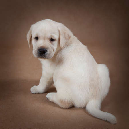 cute dogs: Labrador puppy, six weeks old, sitting in front of beige background  and looks to something