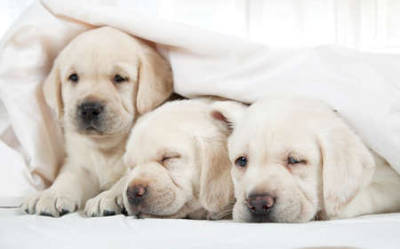 blanket: Six weeks old purebred Labrador puppies lying in a bed covered by a blanket