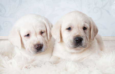 Two purebred Labrador puppies (six weeks old) lying on a fur rug indoors
