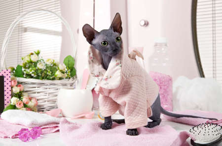 cat grooming: Two months old purebred Don Sphinx kitty cat dressed in pajama sitting on the table with some toiletries indoors Stock Photo