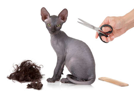 kitty cat: Humorous photograph of a just haircutted kitty cat in front of white background